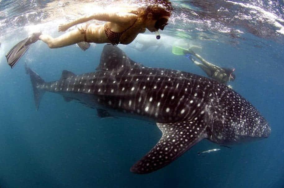whale shark watching