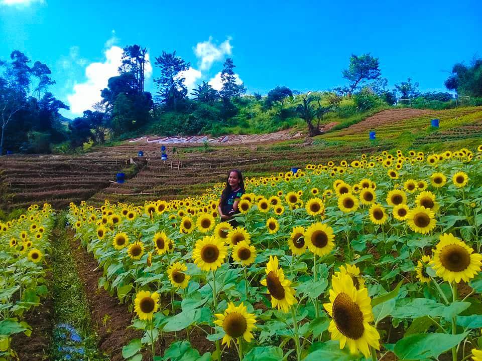 Sunflower Farm Dalaguete (8)