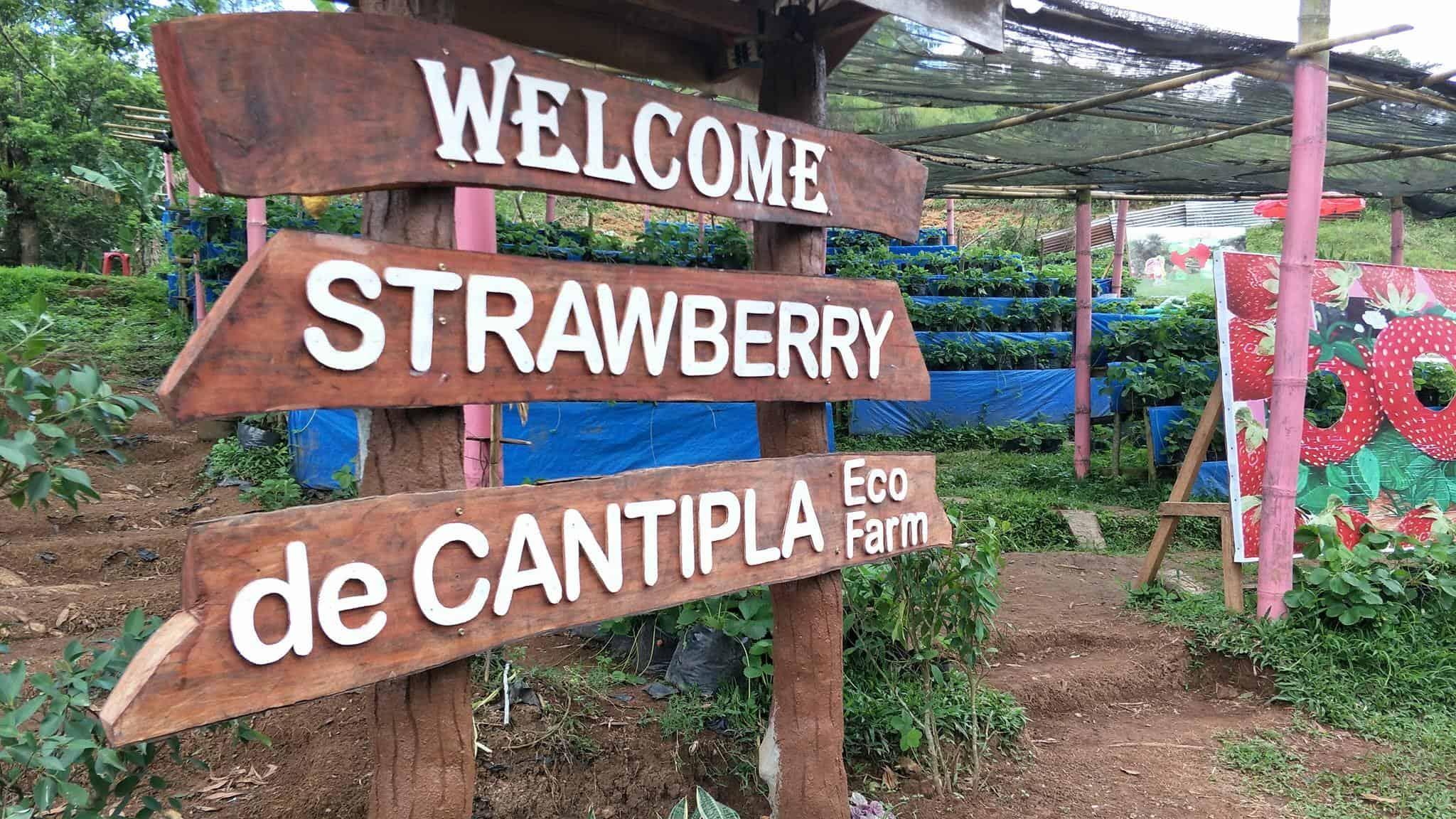 Strawberry de Cantipla Cebu (2)