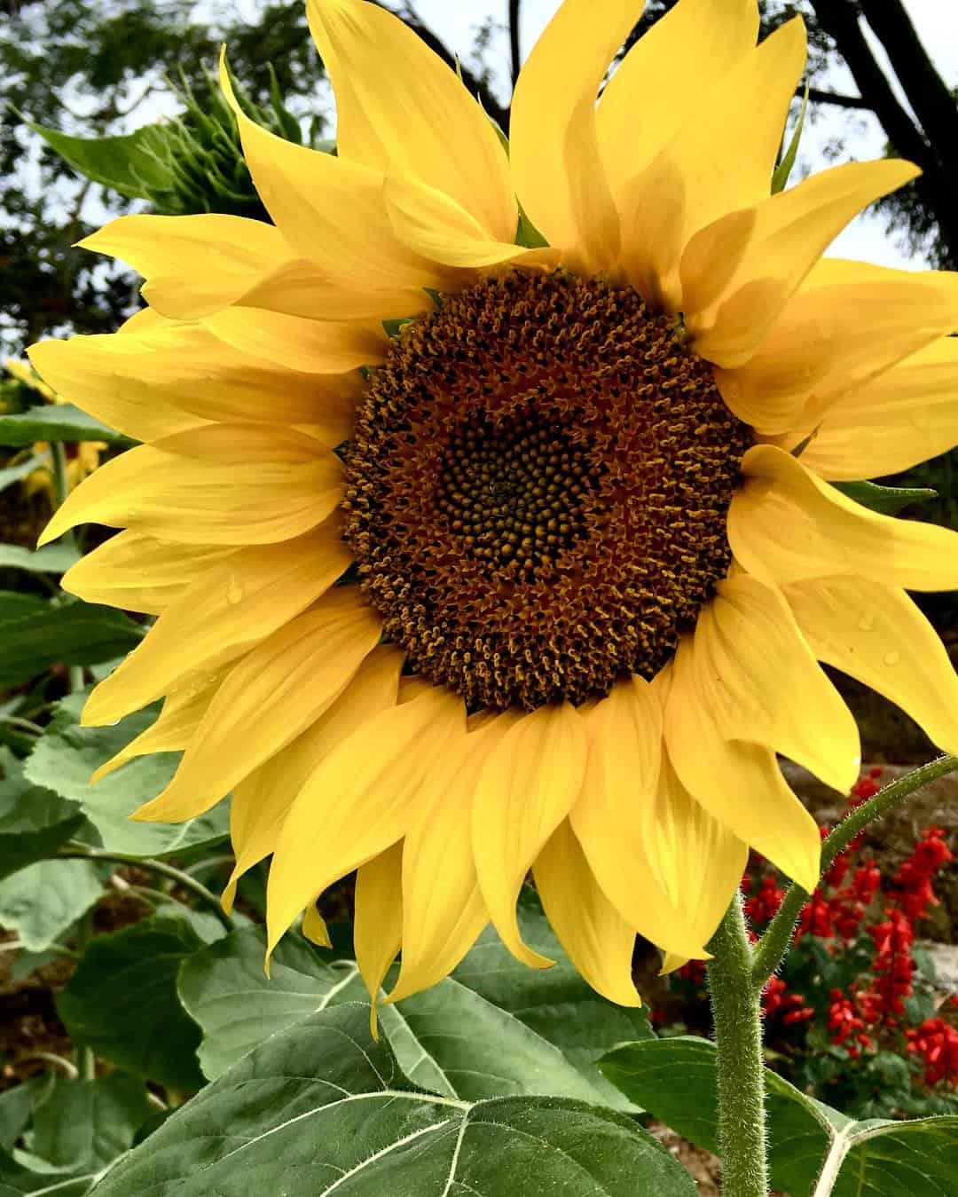 Katilong Sunflower Farm Cantipla Cebu City (3)