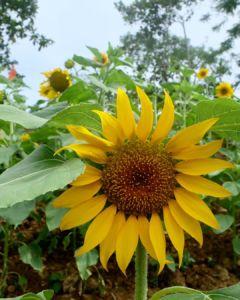 Katilong Sunflower Farm Cantipla Cebu City (4)