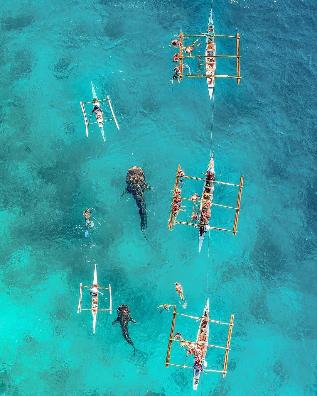 whale shark butanding oslob cebu