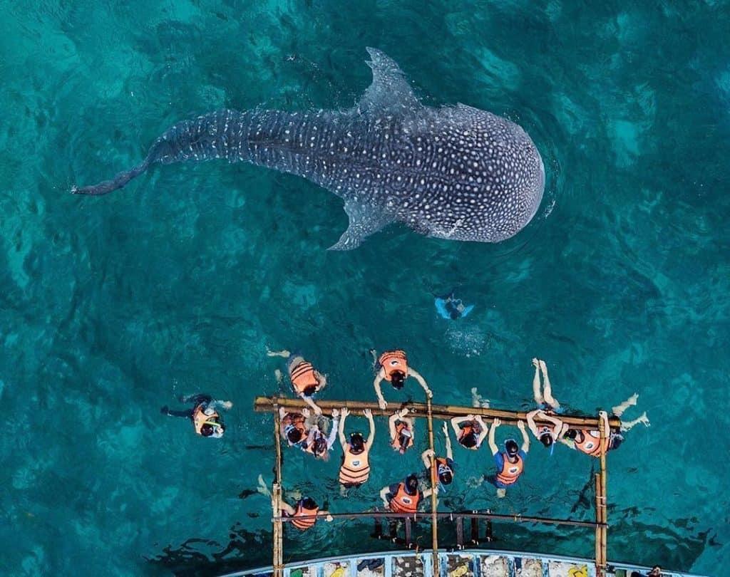 whale shark butanding oslob cebu (6)