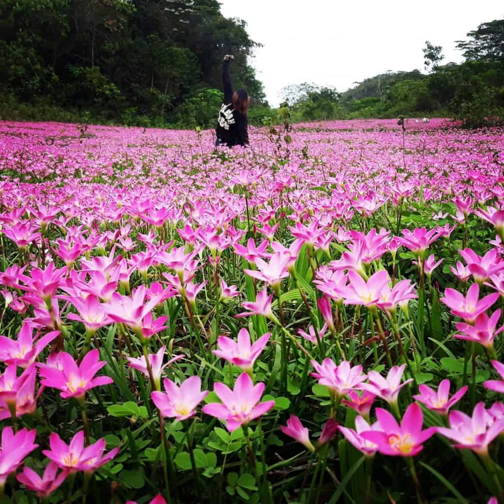 Pink Aseret Flowers Oslob Cebu (2)