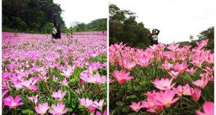Pink Aseret Flowers Oslob Cebu