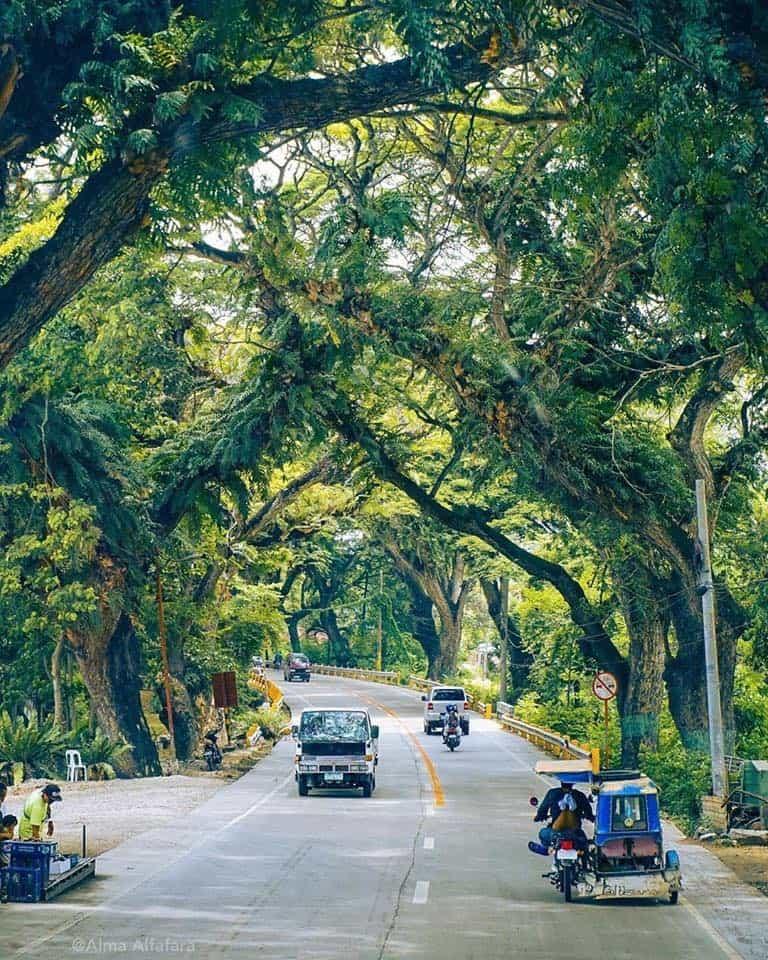 carcar-acacia-trees