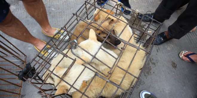 China caged dogs