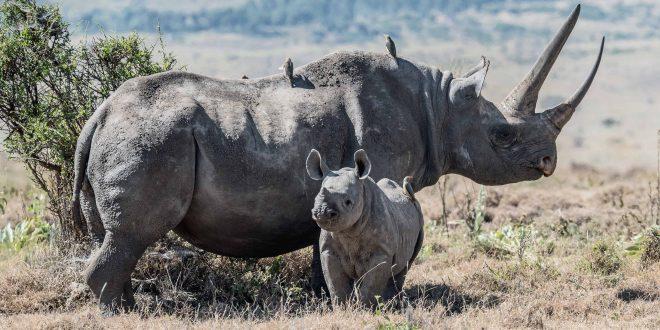 african black rhinos