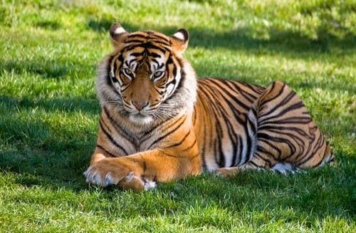 nadia tiger positive covid-19