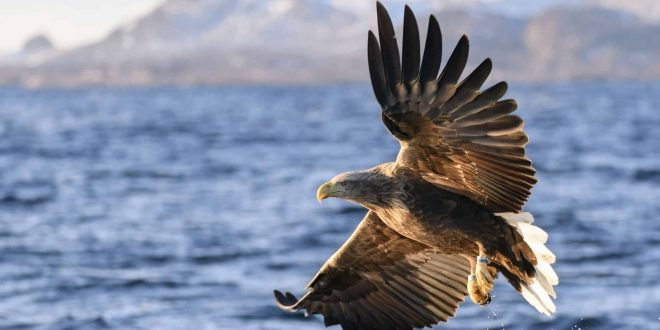 white tailed eagles seen after years-1