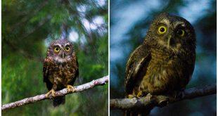 1 Cebu Hawk Owl